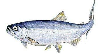 Рыба семга