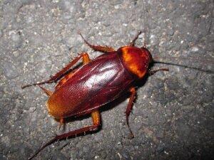 Большой рыжий таракан