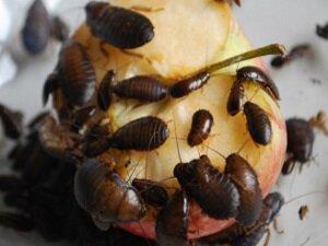 Пища как причина появления тараканов