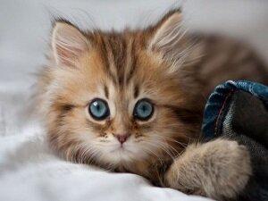 Определение возраста котенка по глазам