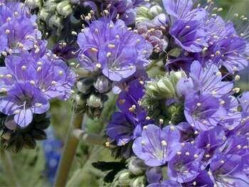 Фацелия цветки