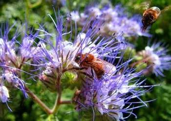 Фацелия с пчелами