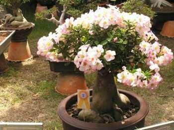 Адениум с нежно розовыми цветами