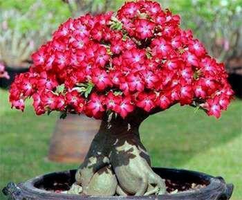 Адениум в форме гриба