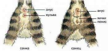 Картинка определения пола котенка
