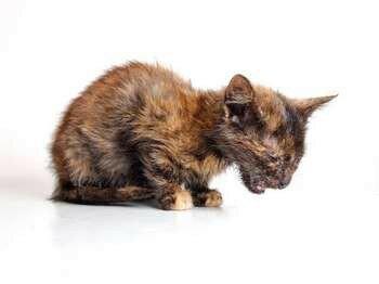 Котенок болеет чумкой
