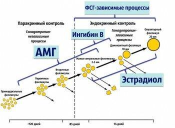 Схема работы гормона амг