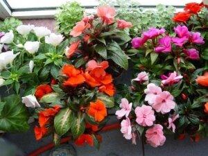 Оттенки цветков бальзамина
