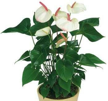 Белые цветки антуриума