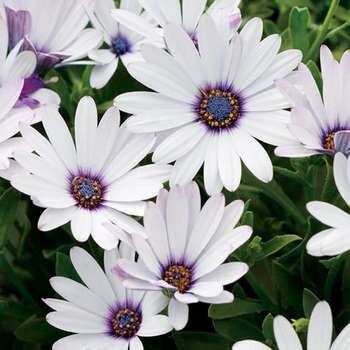 Белые цветки остеоспермума