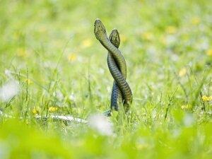 Брачный период змей