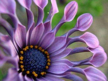 Фиолетовый остеоспермум