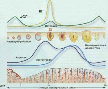 Гормоны в менструальном цикле