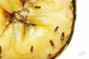 Мухи на ананасе