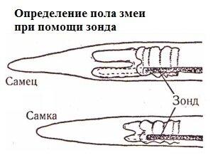 Определение пола змеи при помощи зонда