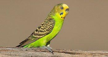 Воспитание волнистого попугая