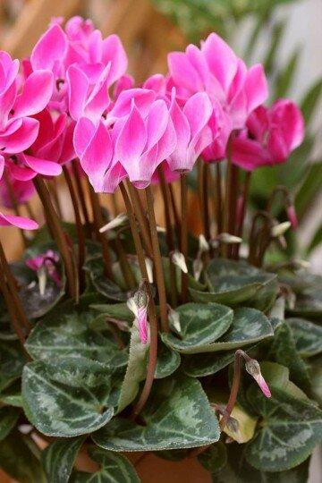 Розовые цветки цикломена