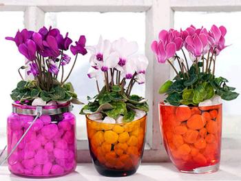 Три цветка цикламена