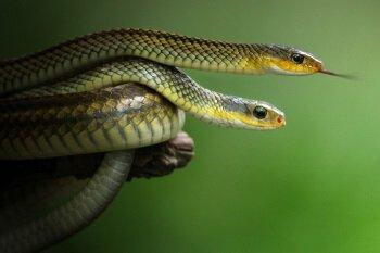 Особенности размножения змей