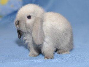 Вислоухий кролик