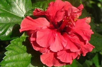 Красивая китайская роза