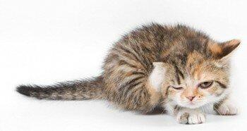 Проблема блох у котенка