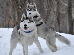 Зависимость стоимости щенка от родословной