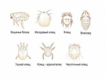 Виды кошачьих паразитов