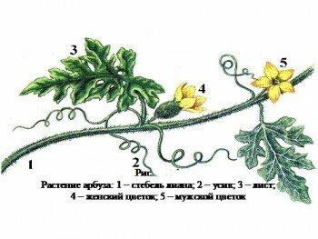 Растение арбуза