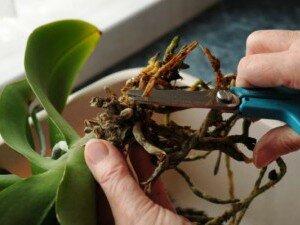 Обрезка сгнивших корней