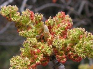 Цветение фисташкового дерева