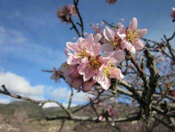 Цветение миндального дерева