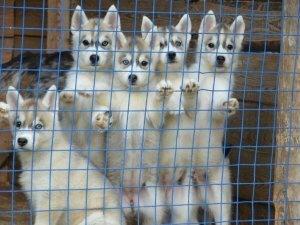 Предпочтительность покупки щенков в питомнике