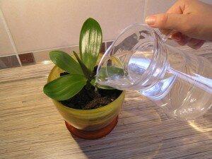 Полив орхидеи после подсыахания кома