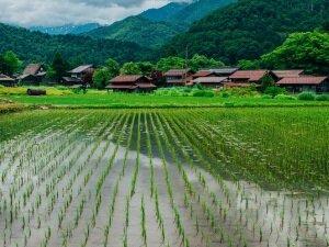 Лиманный способ выращивания риса