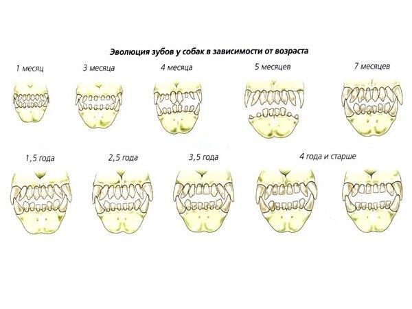 Эволюция  зубов у собак в зависимости от возраста