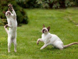 Сиамские кошки - долгожители