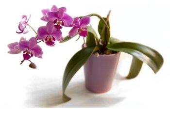 Уход и восстановление орхидеи