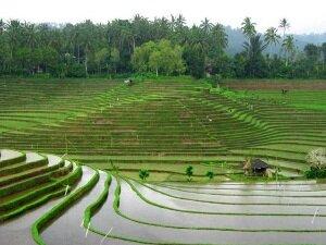 Один из способов выращивания риса