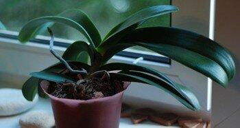 Орхидея на подоконнике