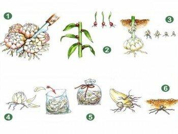 Принцип размножения бегонии клубнями