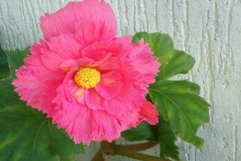 Цветок бегонии
