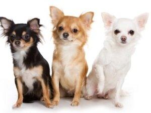 Чихуахуа - собаки долгожители