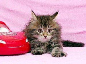 Охотничий инстинкт у кошки