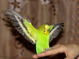 Вред стрессов для волнистых попугаев