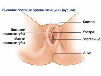 Строение внешних половых органов женщины