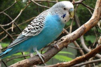 Волнистый попугай на воле