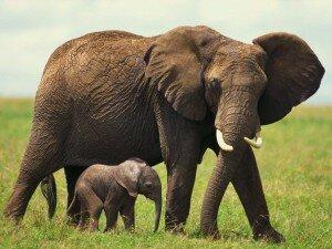 Слоны на воле