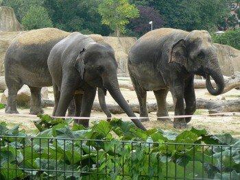 Содержание слонов в зоопарке